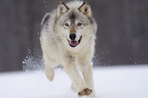 Wolf Wallpapers HD A2