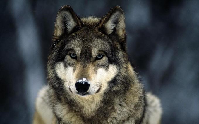 wolf background hd