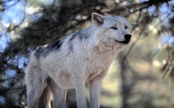 cool wolf wallpapers grey gray