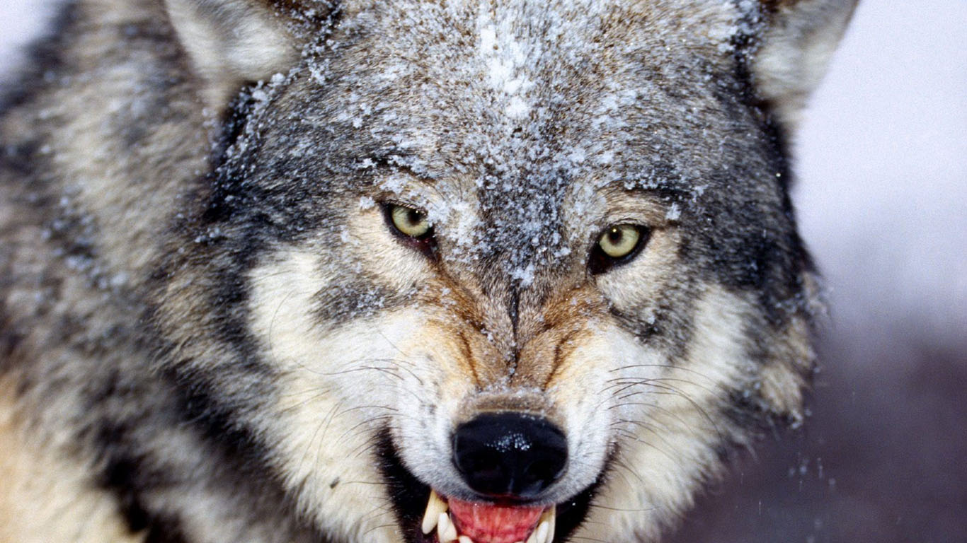 angry wolf wallpaper