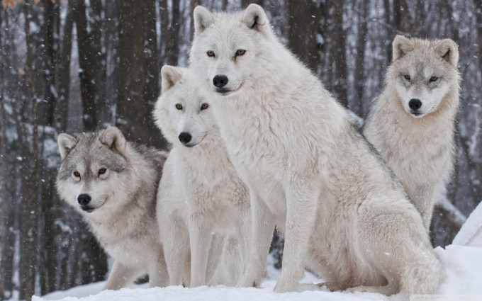 white wolf wallpapers cute