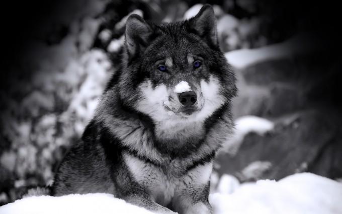 dark wolf wallpaper