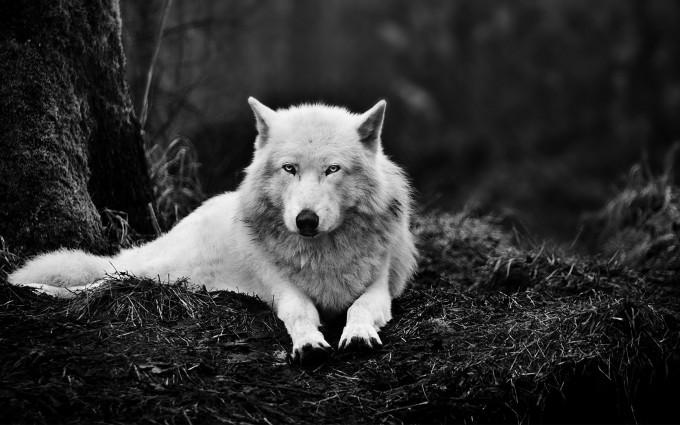 arctic wolf wallpaper lone