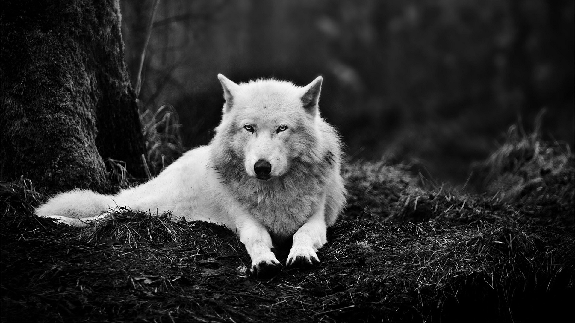 arctic wolf wallpaper lone
