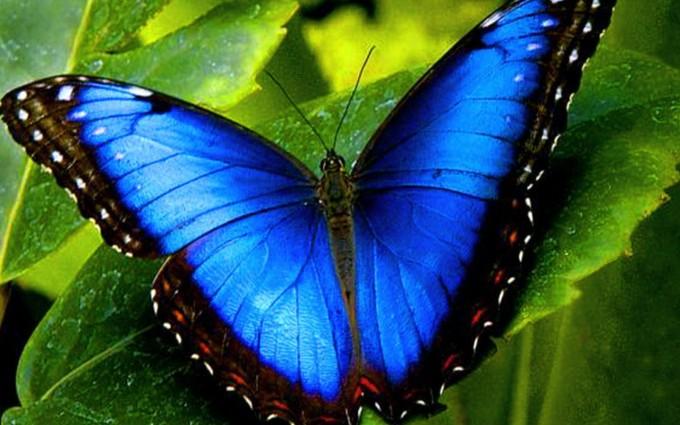 blue butterfly wallpaper 2