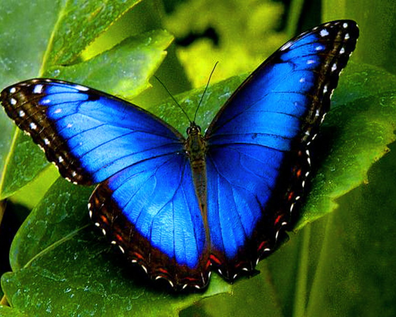 blue butterfly wallpaper 2