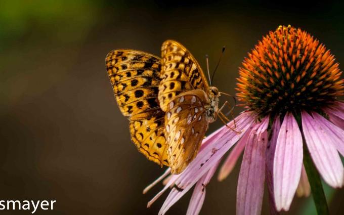 butterfly-on-coneflower