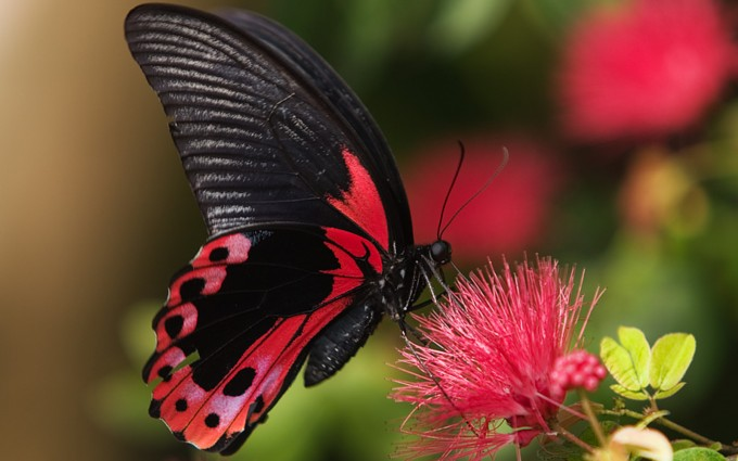 butterfly wallpaper cherry red