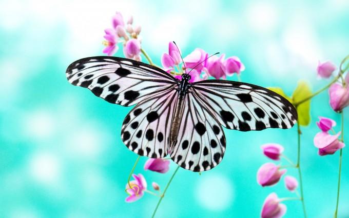 butterfly wallpaper cyan background