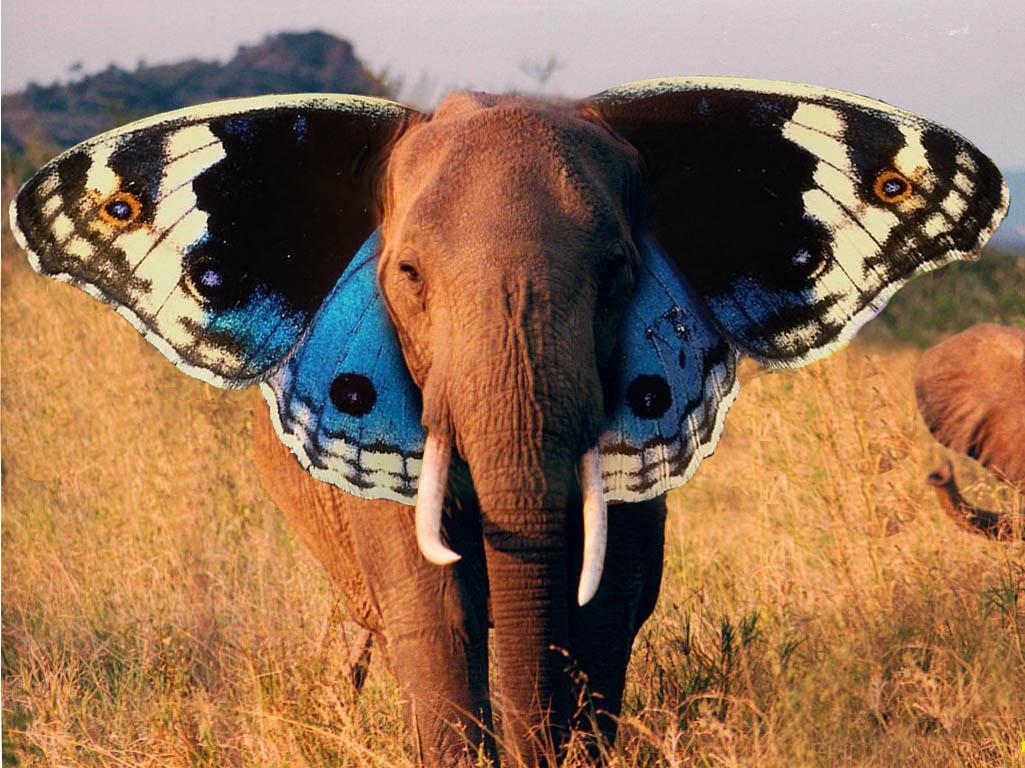 butterfly wallpaper elephant