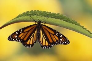 butterfly wallpaper leaf