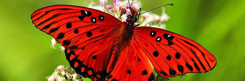 butterfly wallpaper red - HD Desktop Wallpapers | 4k HD