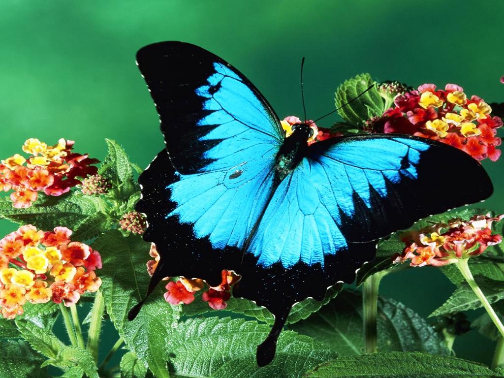 butterfly wallpaper spot blue