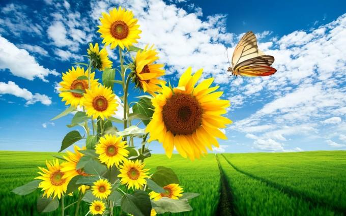 butterfly wallpaper sun flower