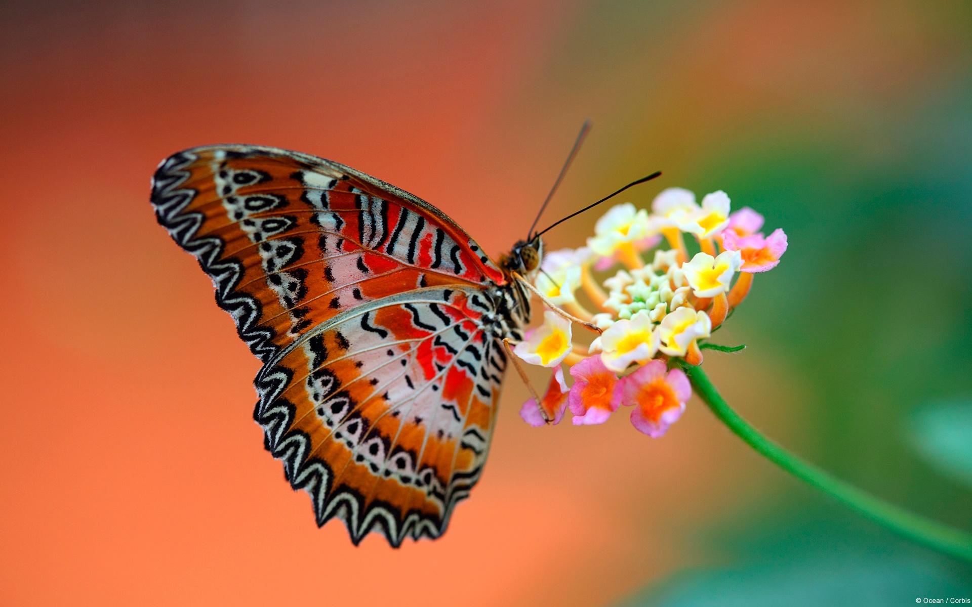 butterfly wallpaper tribal