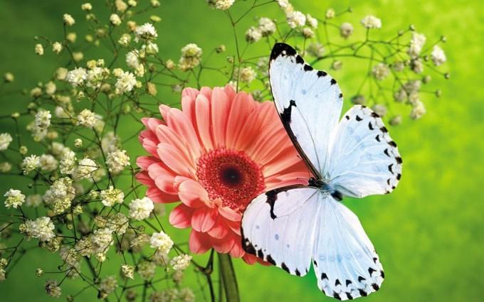 butterfly wallpaper white