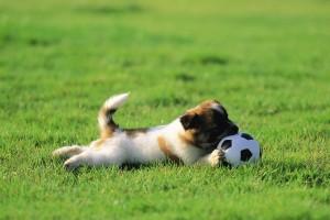 football wallpapers HD dog
