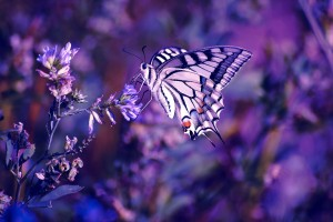 purple butterfly wallpaper