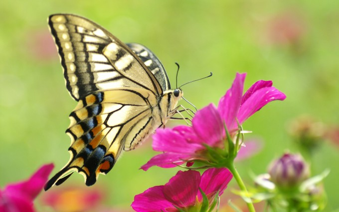 wallpapers of butterflies