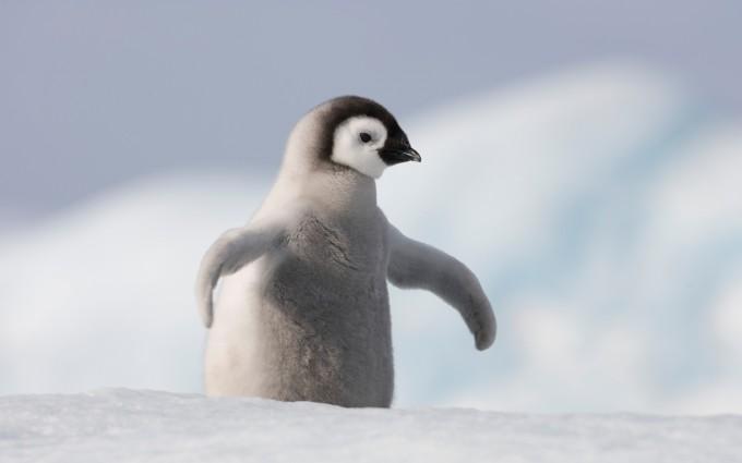 bird wallpaper penguin