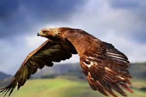 bird wallpaper predator eagle