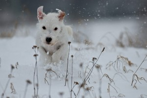 dog wallpapers snow