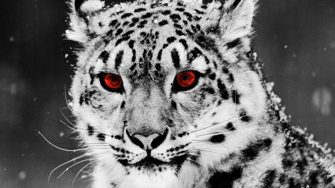 leopard and red wallpaper - photo #23