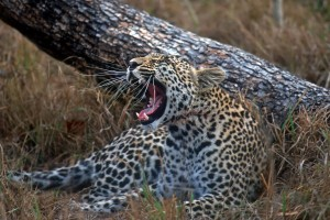 leopard wallpaper wildlife