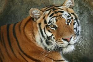 tiger wallpaper sweet