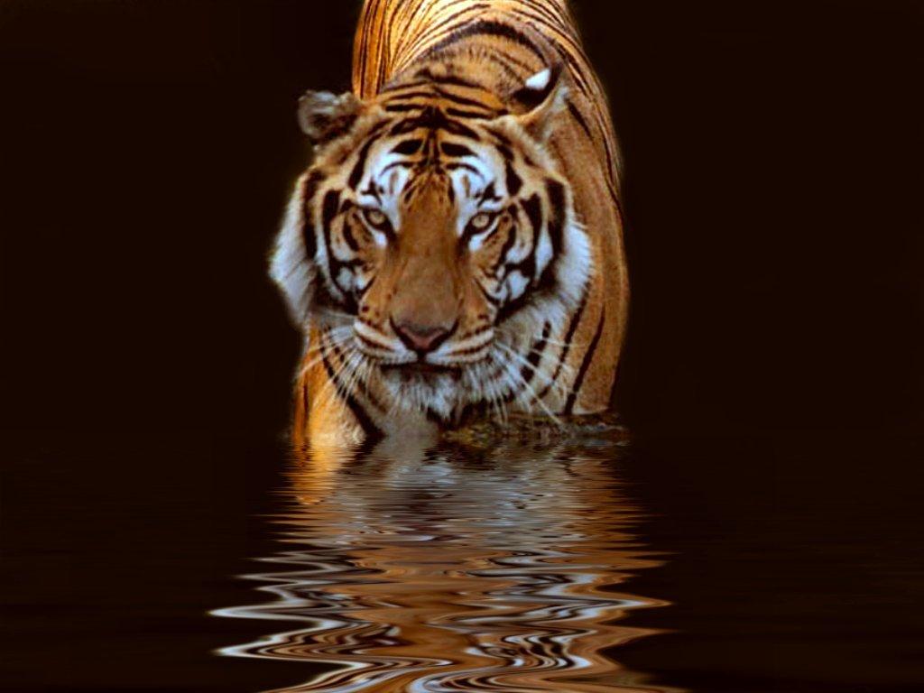tiger wallpaper water