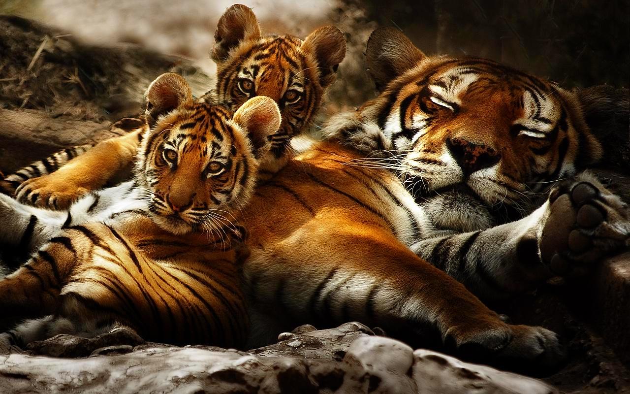 tiger wallpaper wild HD