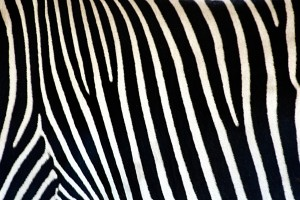 zebra print wallpapers pattern