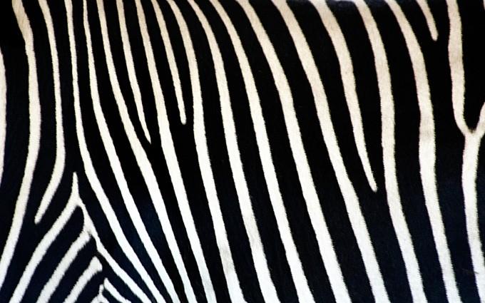 zebra print wallpapers pattern