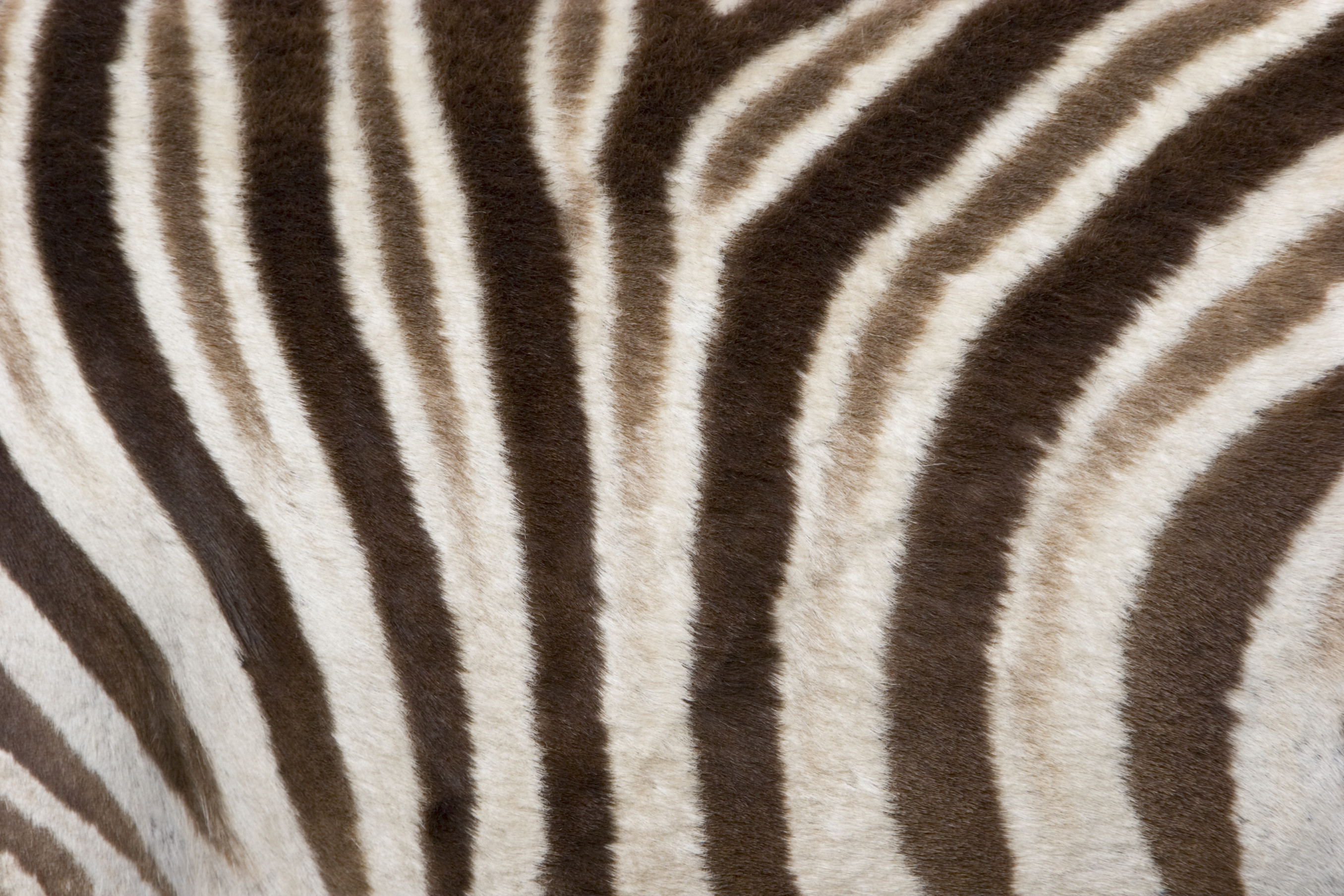 zebra skin wallpaper