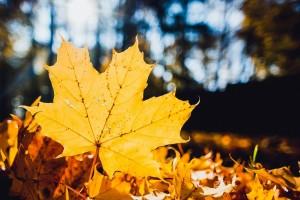 autumn dry yellow leaf