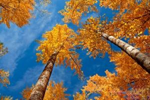 autumn yellow trees hd
