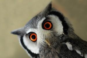 baby owl photography