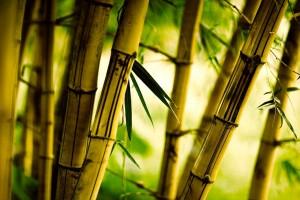 bamboo nature bokeh