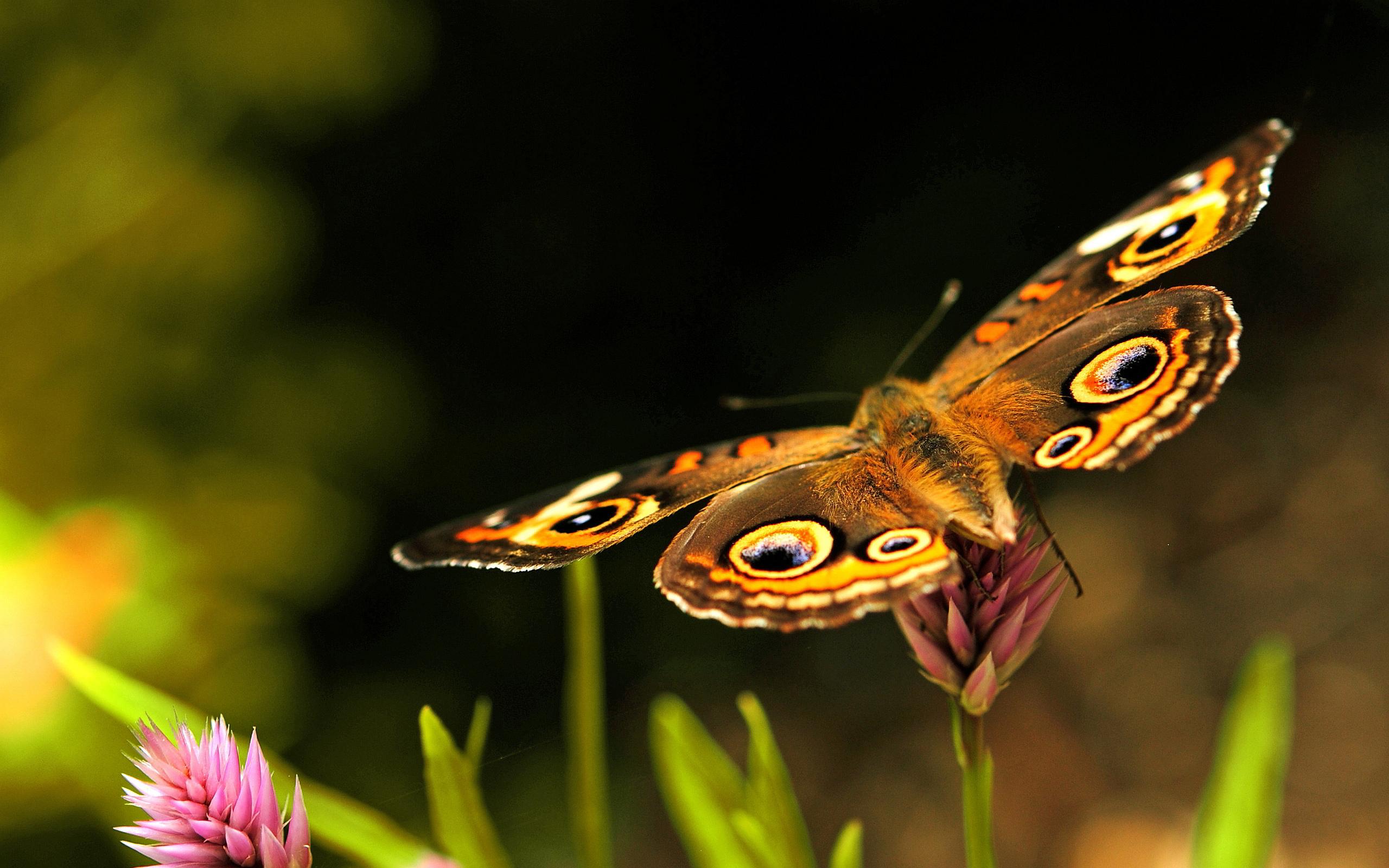 beautiful butterfly - HD Desktop Wallpapers | 4k HD
