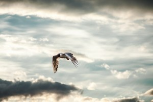 bird flying under clouds