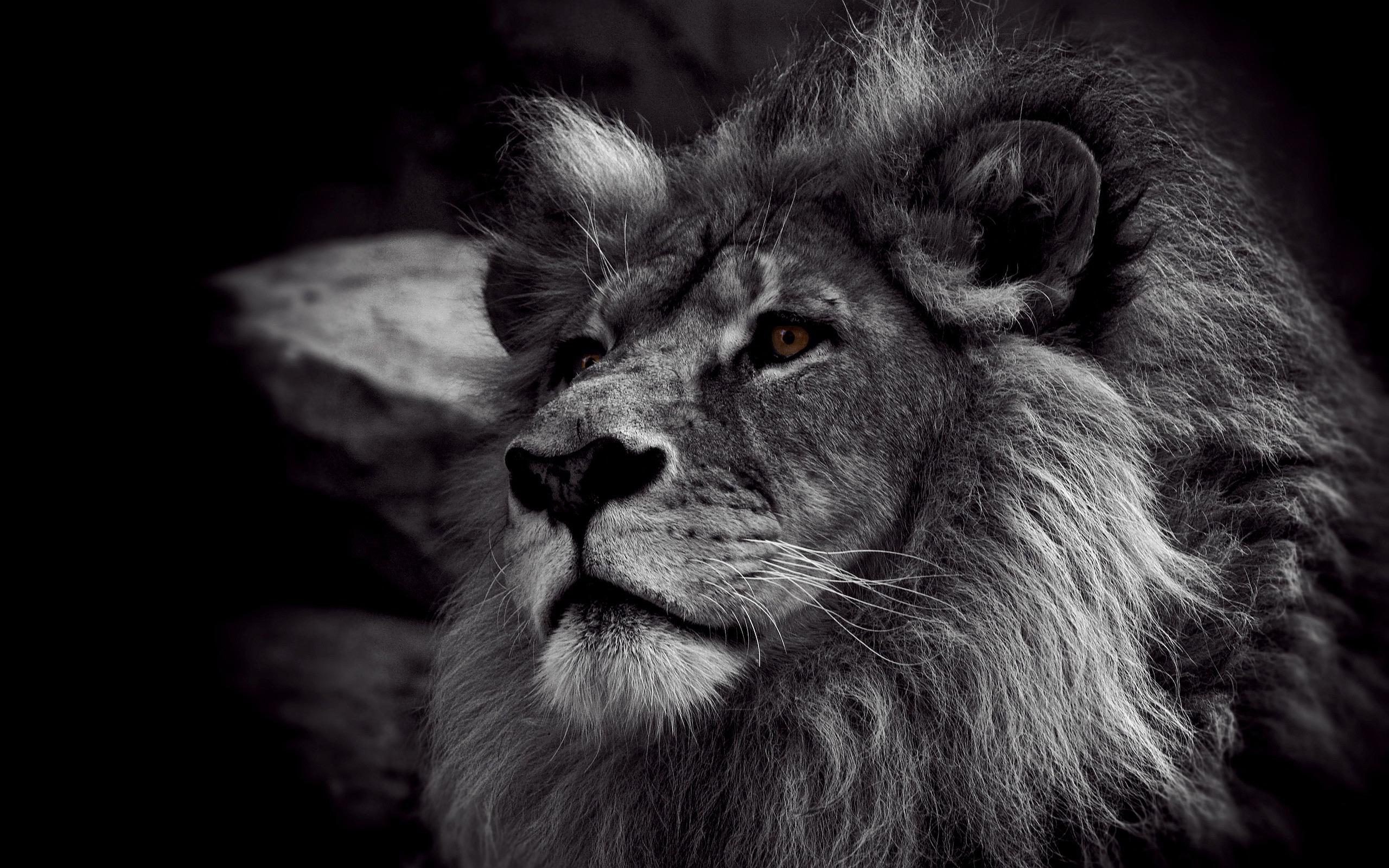Black Lion Hd Desktop Wallpapers 4k Hd