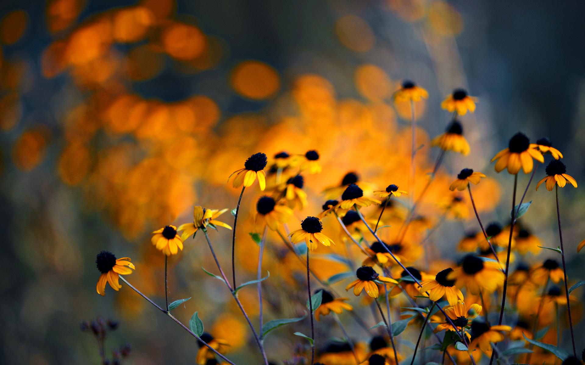 brown eyed susan flowers