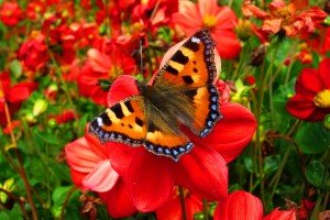 butterfly red images