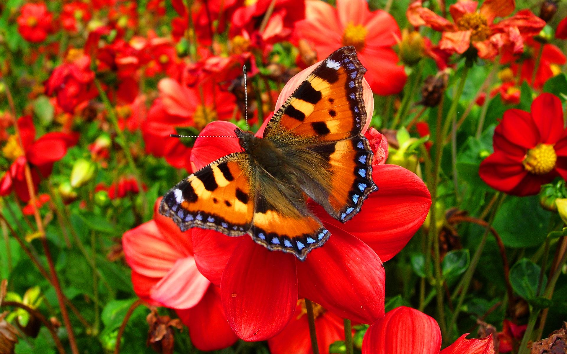 butterfly red images - HD Desktop Wallpapers | 4k HD