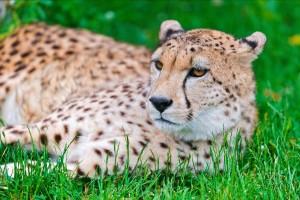 cheetah cute image