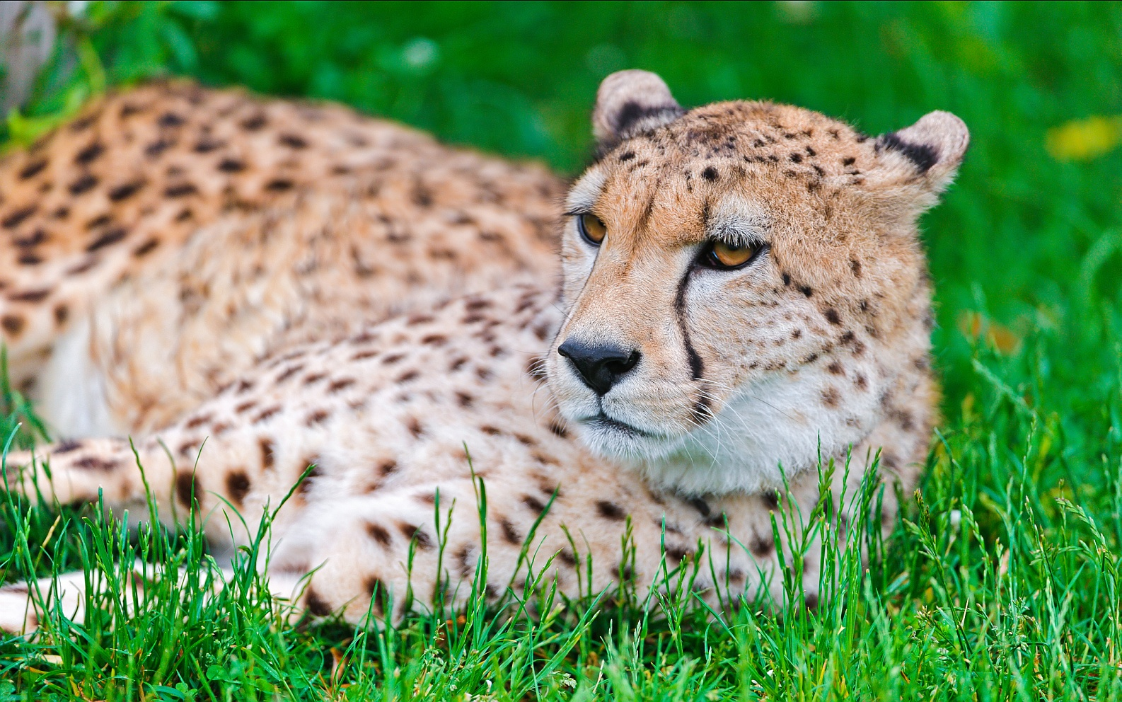 Cheetah: The worlds fastest cat is returning to India