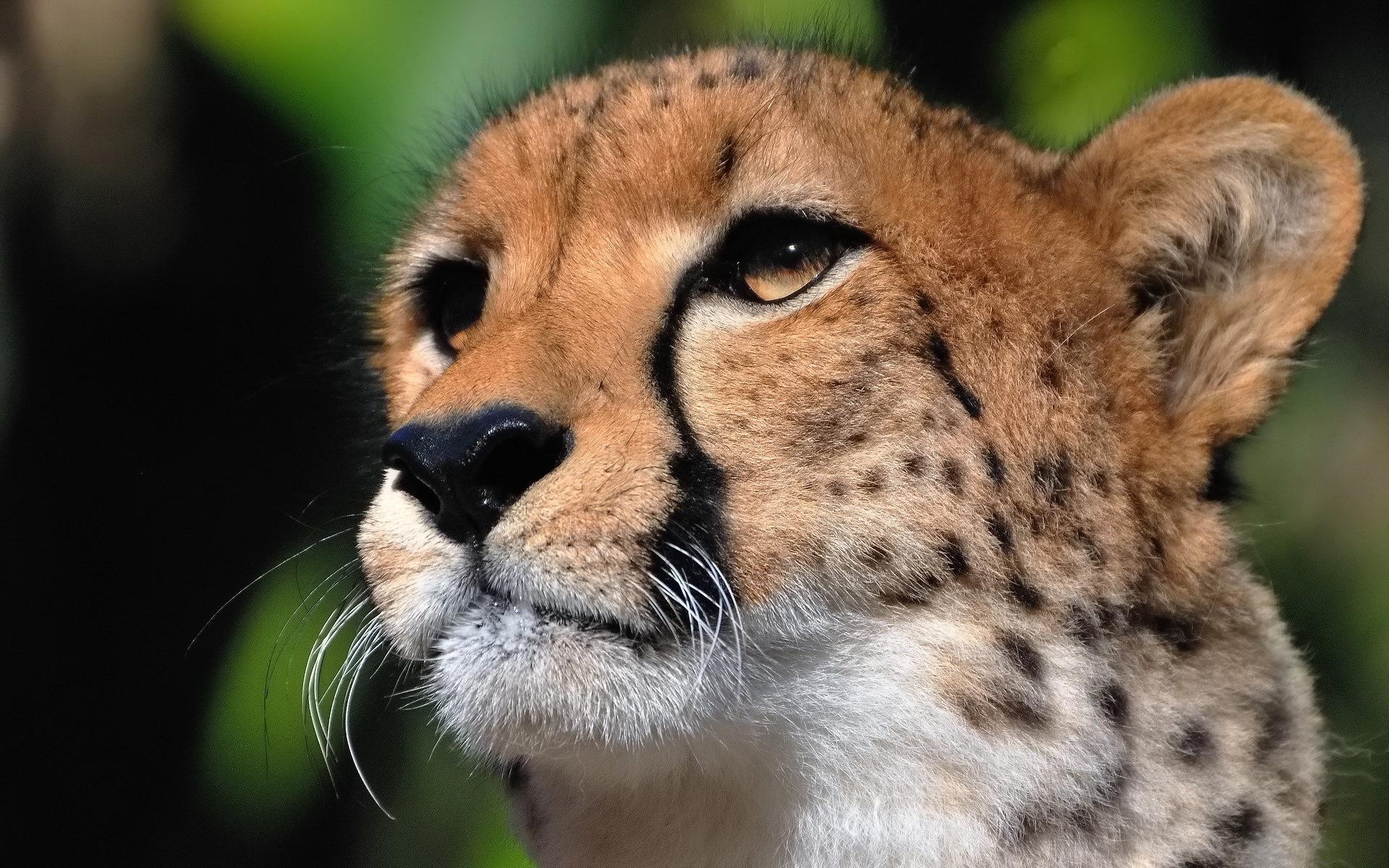 How Did India Lose The Cheetah? - WorldAtlas