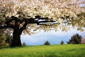 cherry tree nature
