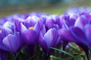 crocus flower purple