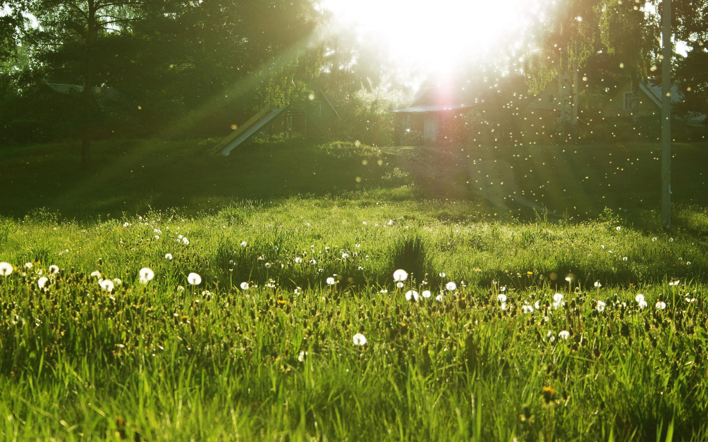 dandelion meadow wallpaper